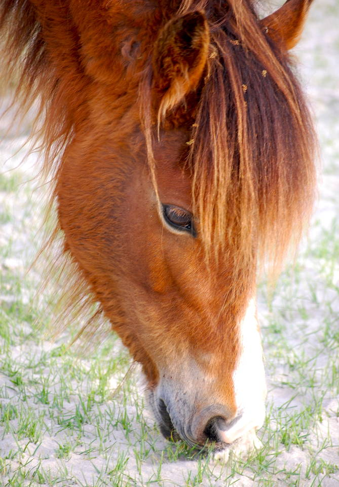 Shackleford Banks Horse